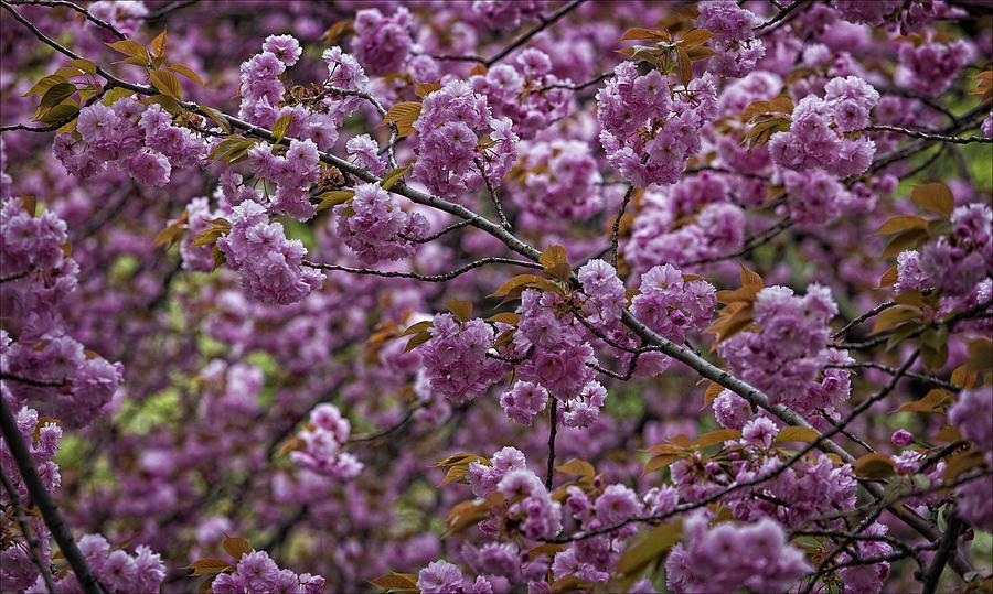 Cherry Blossoms Photograph - Cherry Blossoms by Robert Ullmann