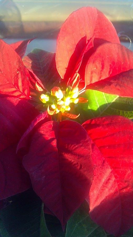 Poinsettia Photograph - Christmas Flower by Brenda Winters