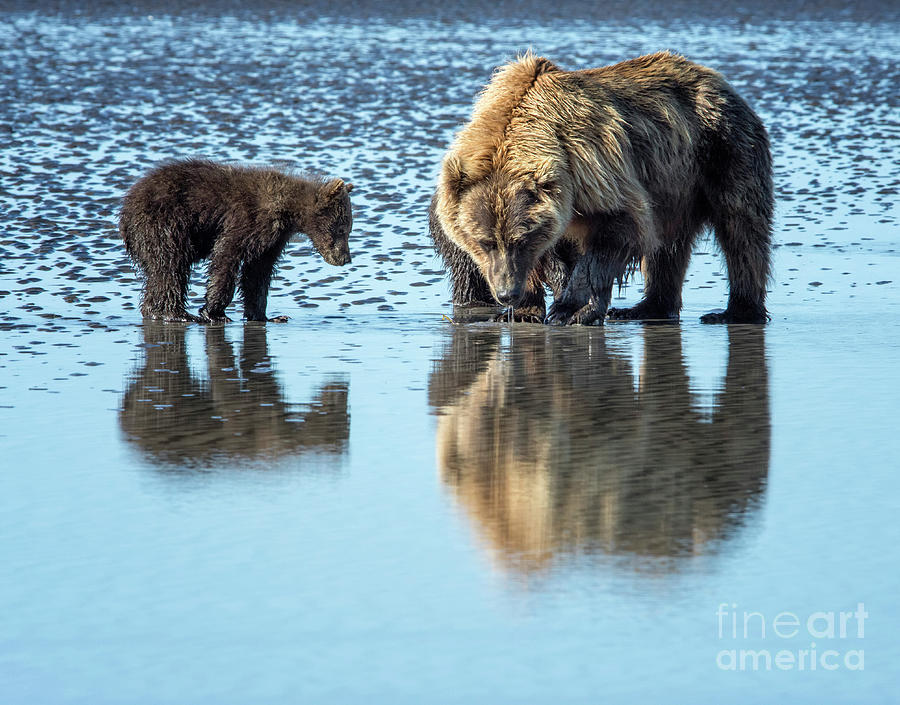 Grizzly Bear Photograph - Clamming by Claudia Kuhn