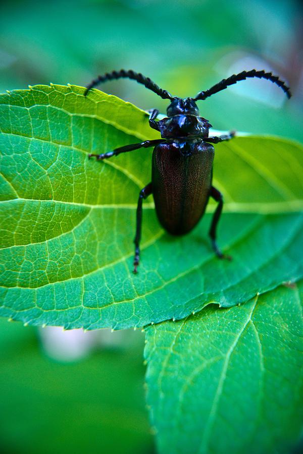 Climbing Photograph - Climbing Beetle by Douglas Barnett