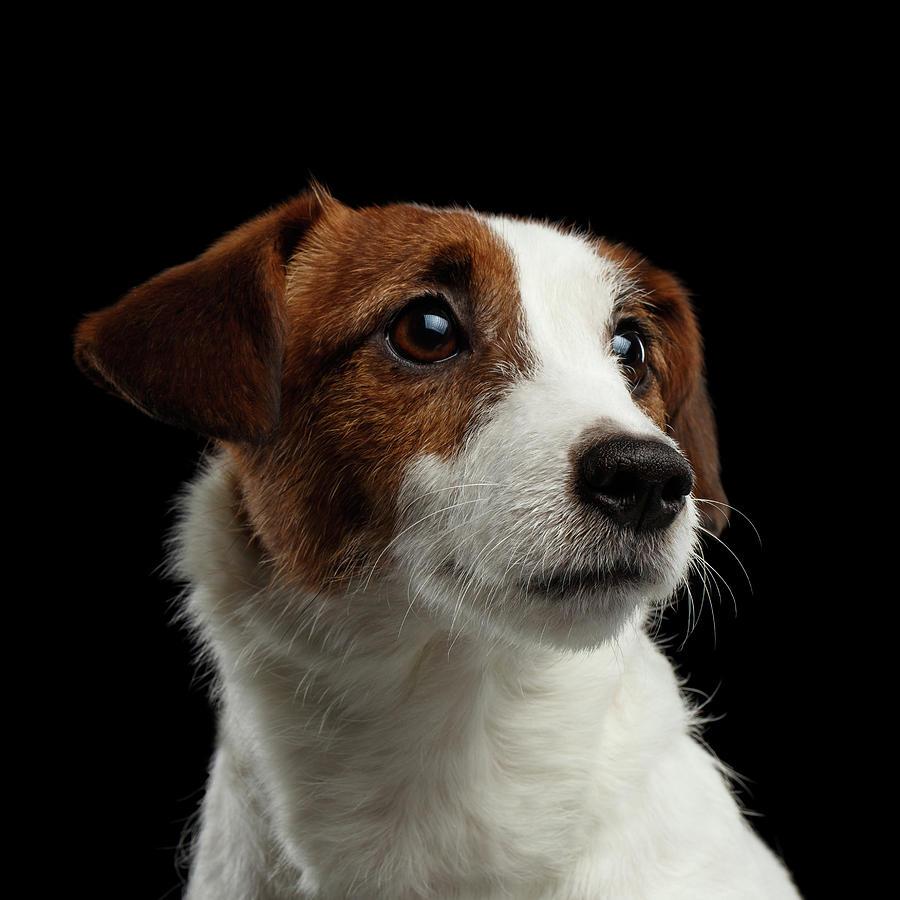 Closeup Photograph -  Closeup Portrait of Jack Russell Terrier Dog on Black by Sergey Taran
