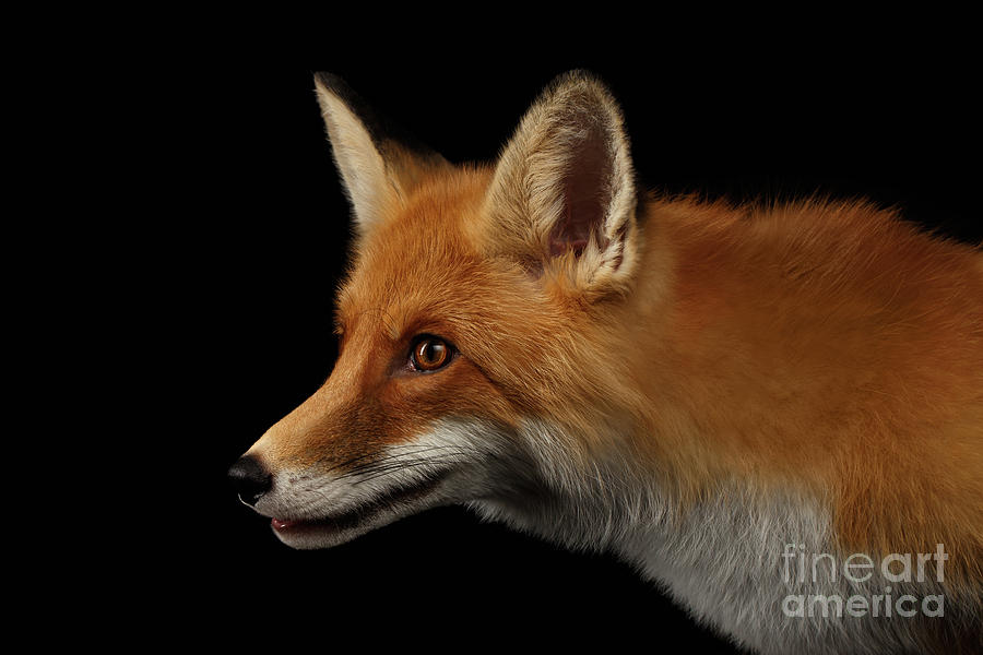 Fox Photograph - Closeup Portrait of Red Fox in Profile Isolated on black  by Sergey Taran