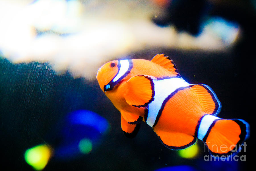Clownfish Photograph - Clownfish by Brenton Woodruff