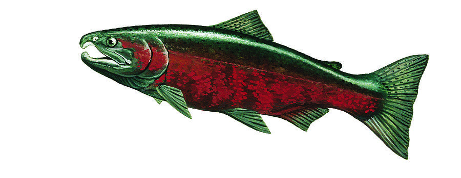 Silver Salmon Painting - Coho Salmon by Shari Erickson