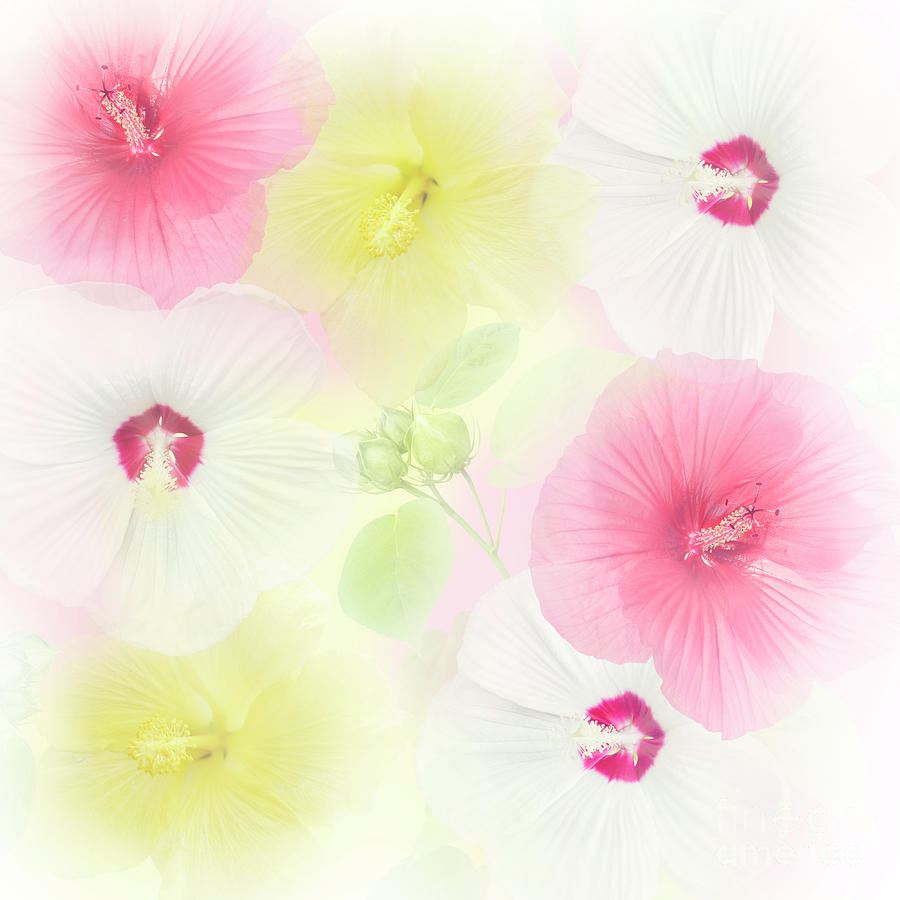 Colorful Hibiscus Flowers Photograph By Svetlana Foote