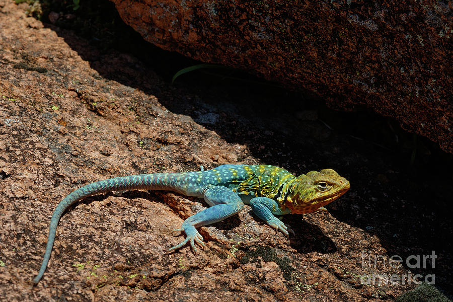 Colorful Lizard II Photograph