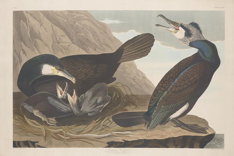 Audubon Drawing - Common Cormorant by Dreyer Wildlife Print Collections