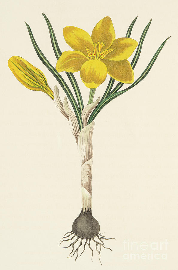 Bulb Drawing - Common Yellow Crocus by Margaret Roscoe