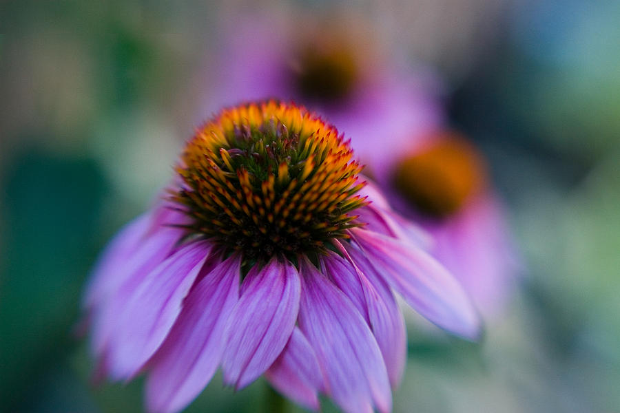 Abstract Photograph - Coneflower Ballet by Sandy Belk
