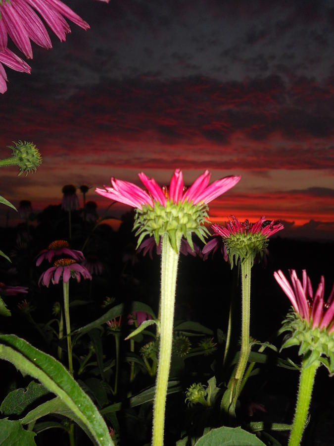 Coneflowers At Sunset Photograph