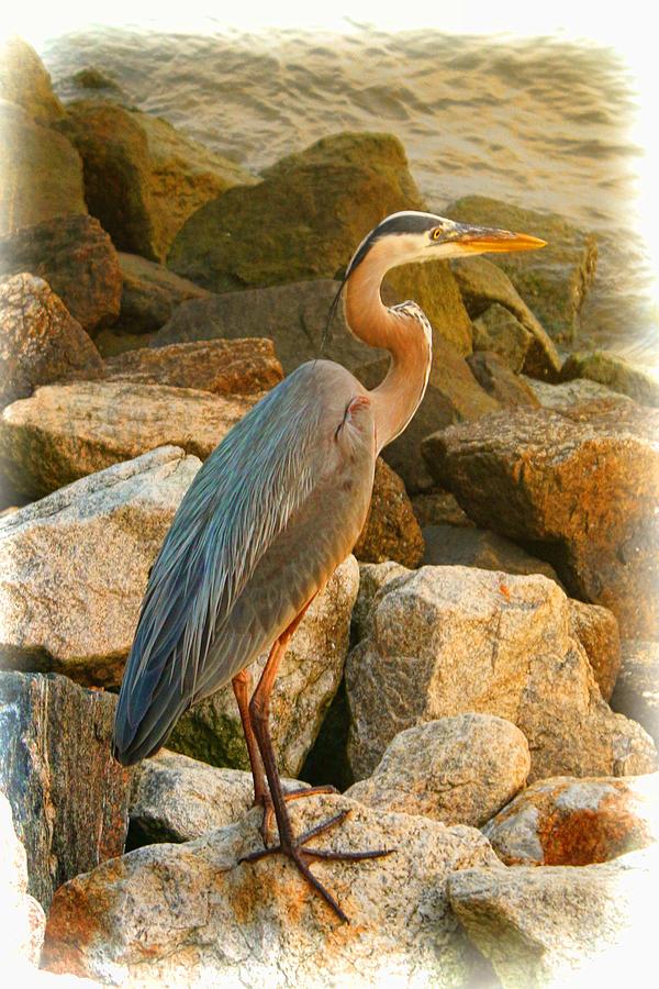 Heron Photograph - Contemplation by Ola Allen