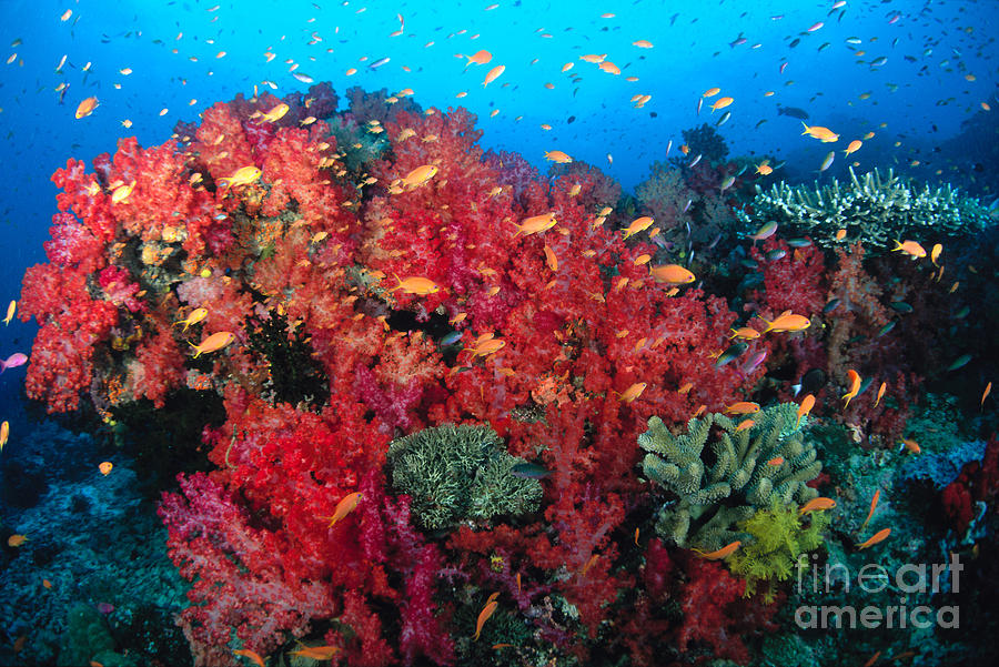 Anthias Photograph - Coral Reef Scene by Dave Fleetham - Printscapes