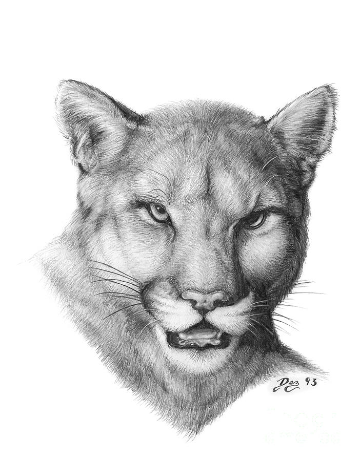 Cougar Face Line Drawing : Cougar drawing by larry dez dismang