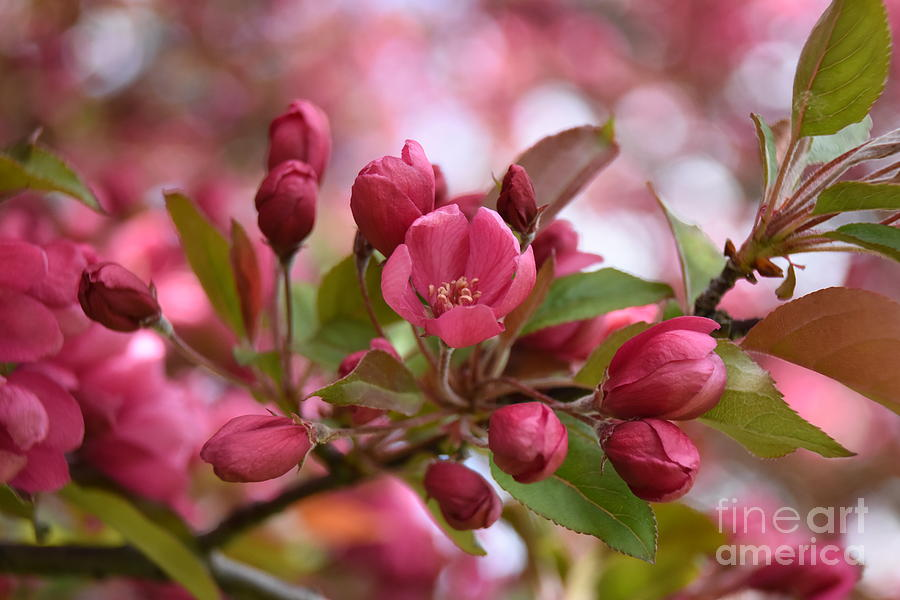 Crab Apple Blossom Photograph by Dale Adams