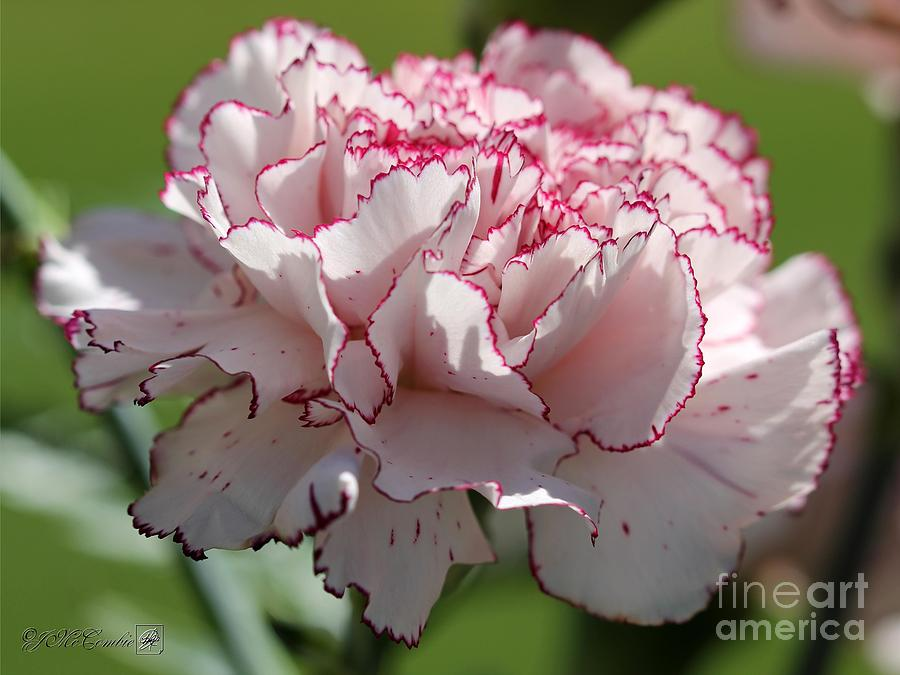 Carnations Photograph - Creamy White With Red Picotee Carnation by J McCombie
