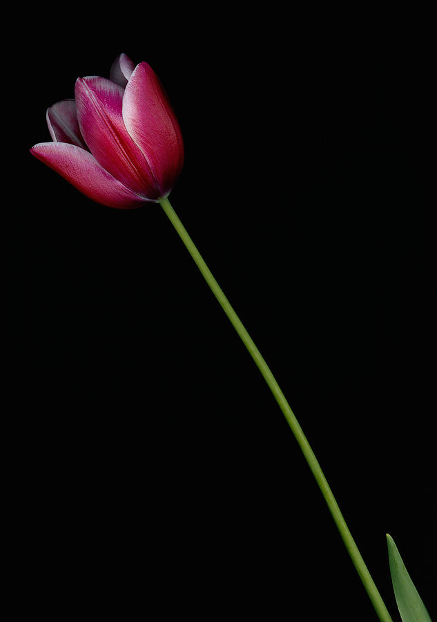 Photograph Photograph - Crimson Beauty by John Mazurek