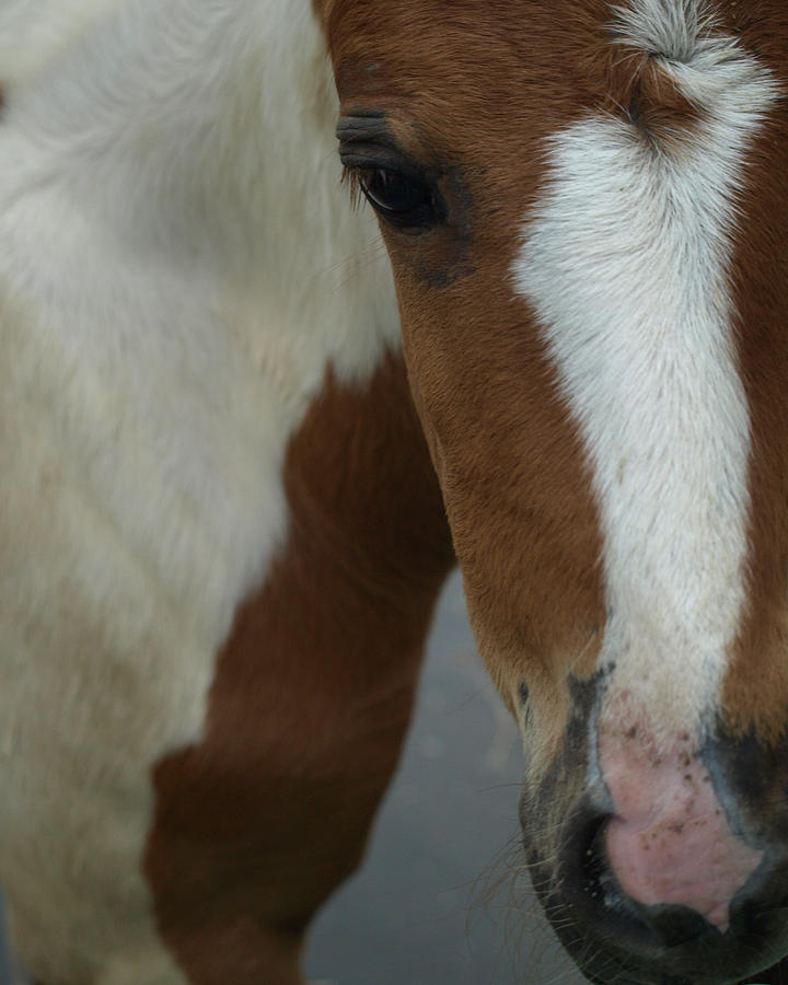 Pinto Photograph - Curious Foal by Kim