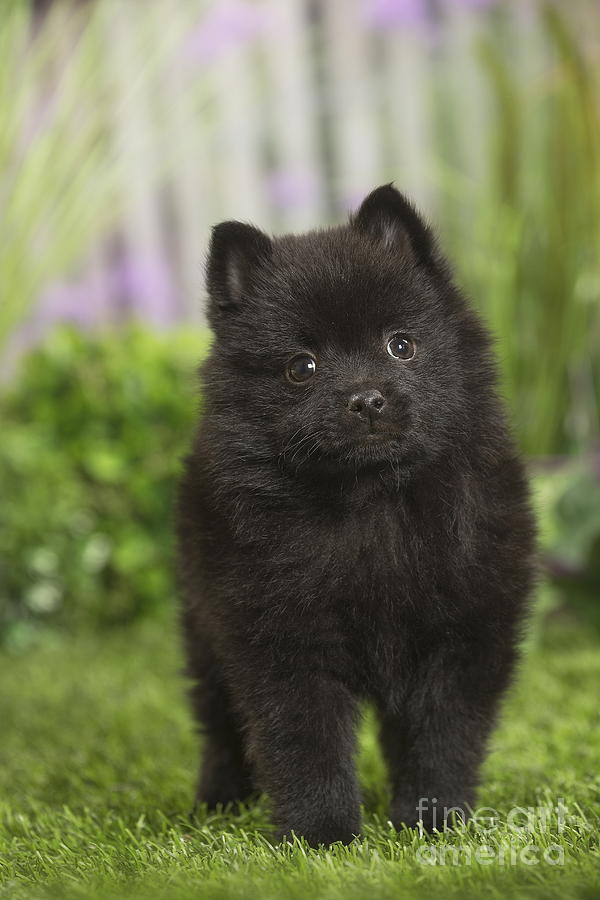 cute schipperke dog puppy photograph by mary evans picture library