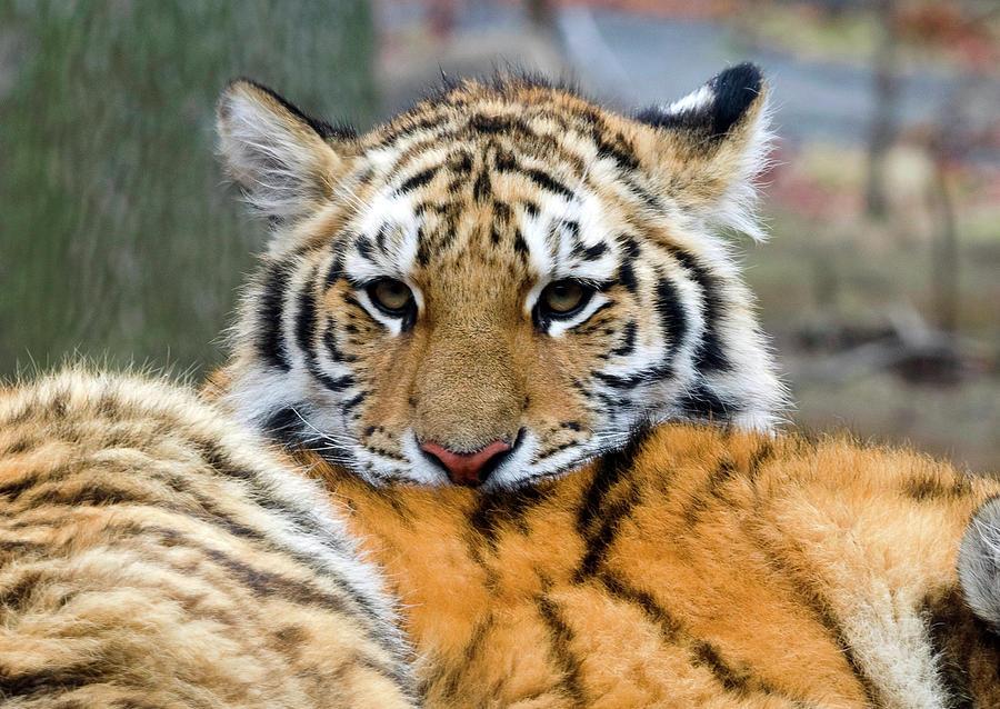 Cute tiger cub photograph by enrique mendez tiger photograph cute tiger cub by enrique mendez altavistaventures Images