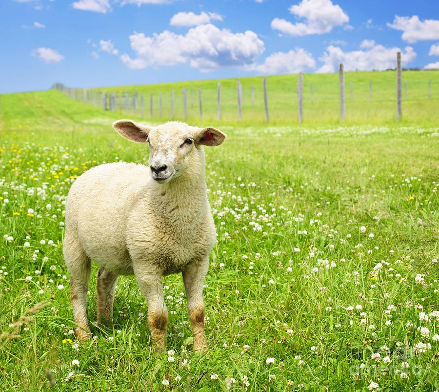 Sheep Photograph - Cute Young Sheep by Elena Elisseeva