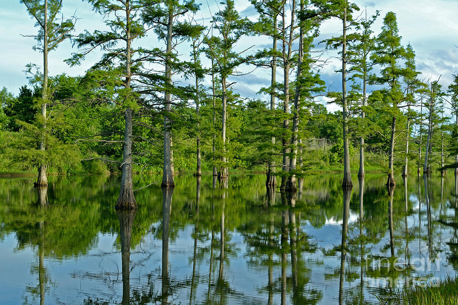 Cypress Photograph - Cypress Grove by Kevin Pugh