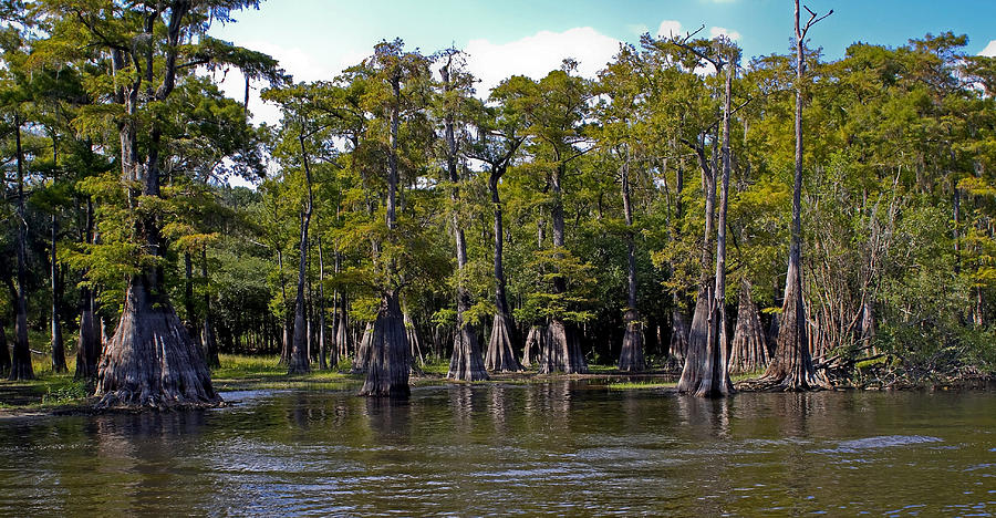 Cypress Photograph - Cypress On The Suwannee by Farol Tomson