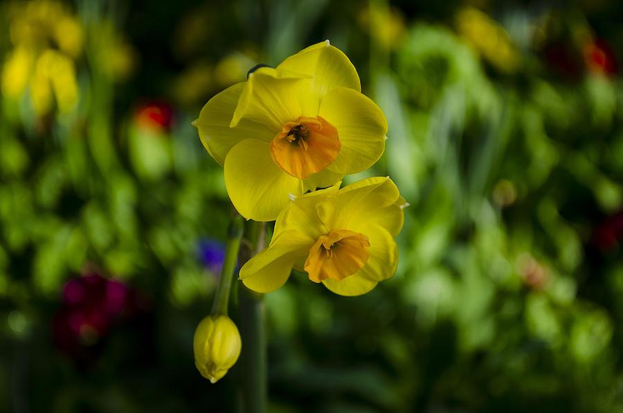 Daffodils by Dan Hefle