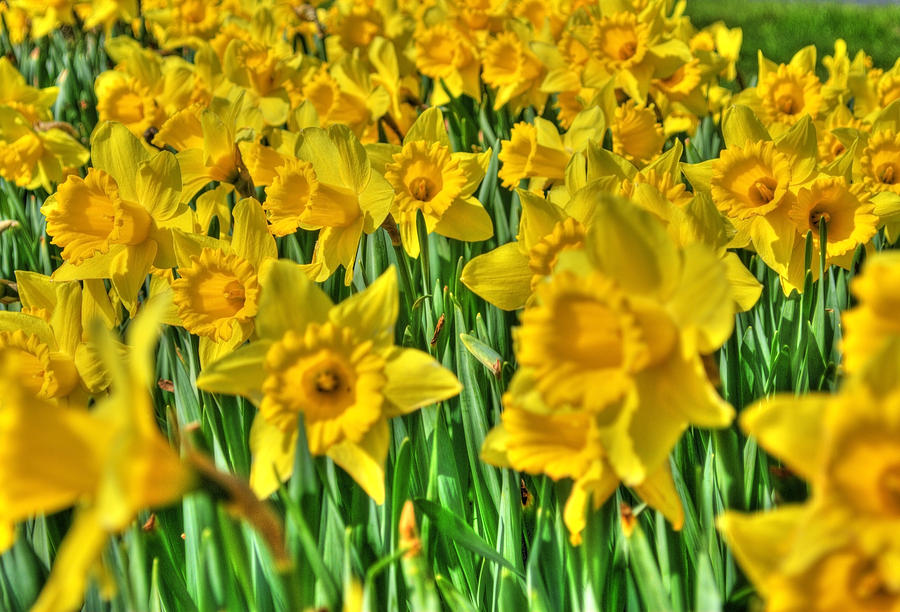 Flower Photograph - Daffodils by Svetlana Sewell