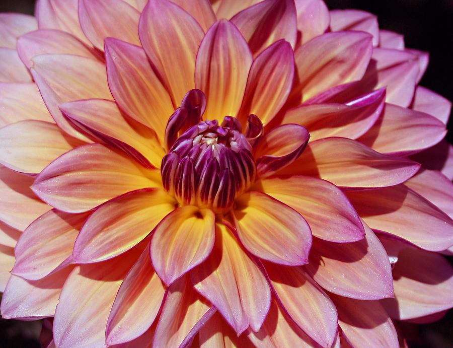 Dahling Dahlia Photograph by Darlene Grover