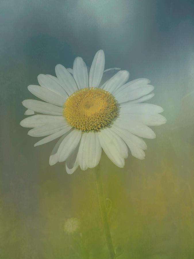Daisy Blue Photograph
