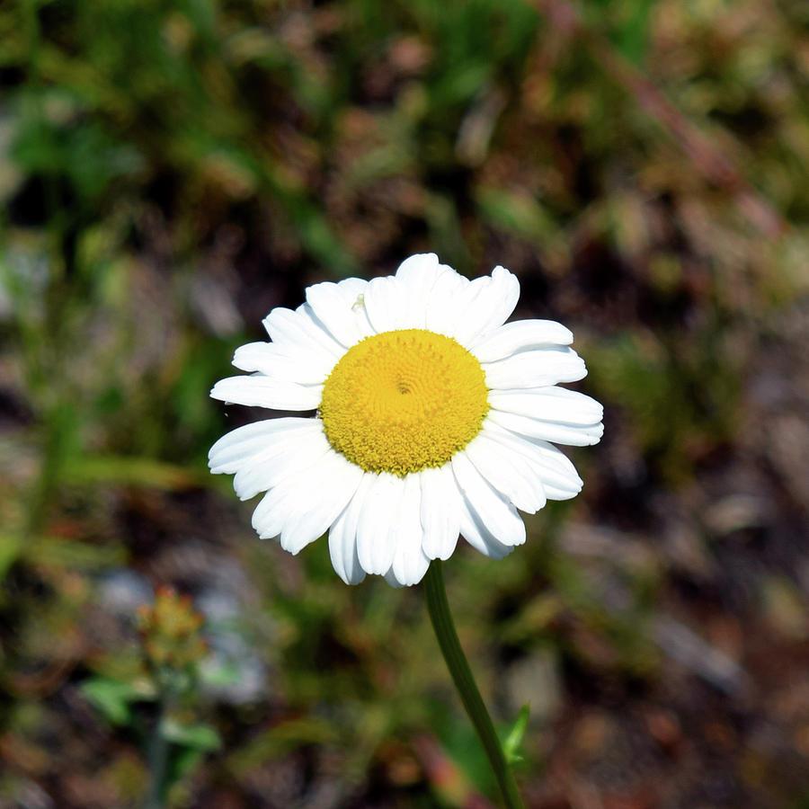 Daisy Photograph - Daisy by Pat Turner