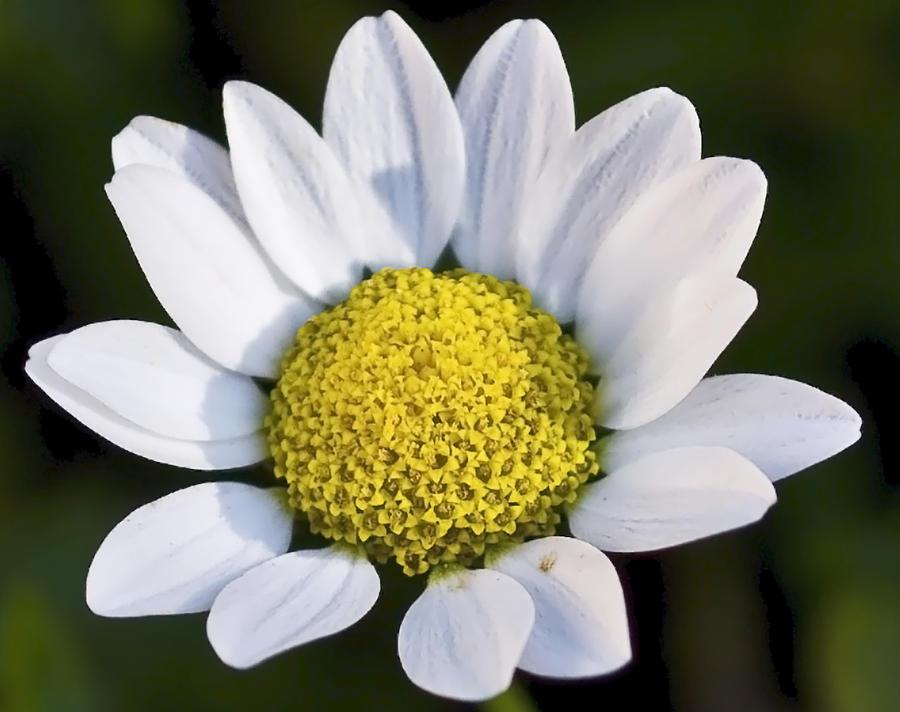 Flowers Photograph - Daisy by Svetlana Sewell