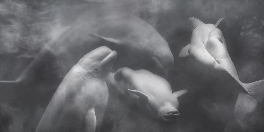 Beluga Photograph - Dancing Belugas  by Betsy Knapp