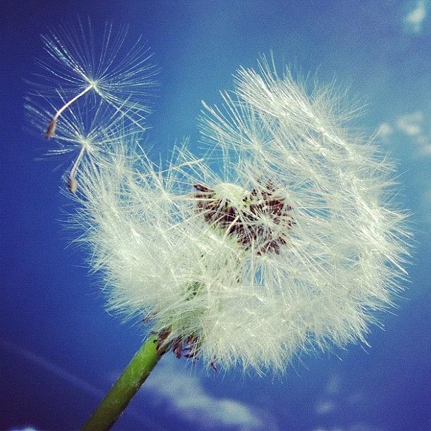 Dandelion Photograph - Dandelion And Blue Sky by Matthias Hauser