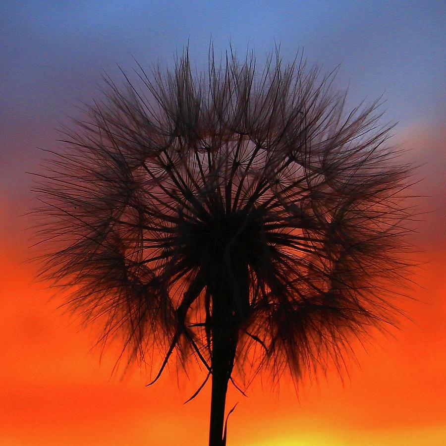 Dandelion by Paul Marto