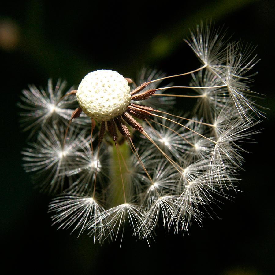 Dandelion Photograph - Dandelion by PIXELS  XPOSED Ralph A Ledergerber Photography