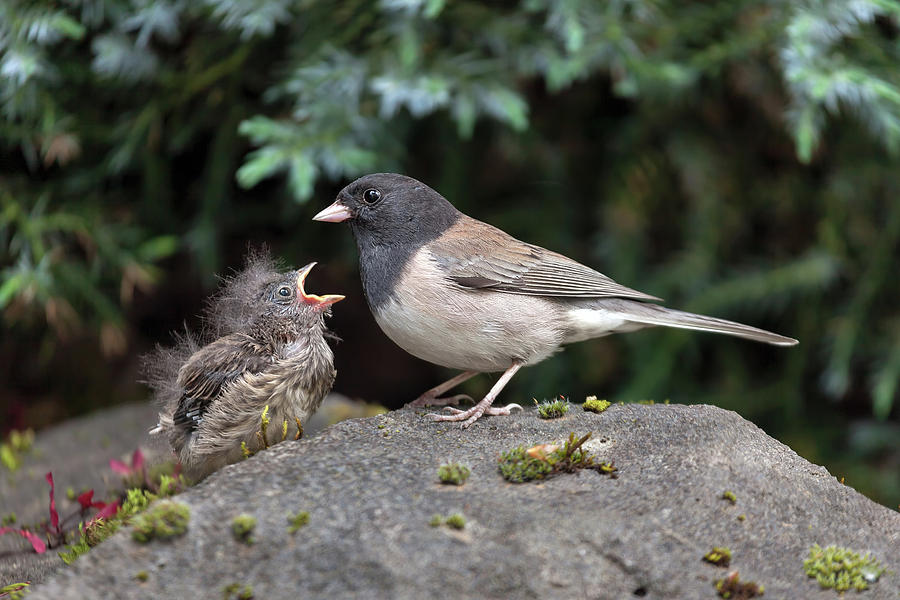 Dark Eye Photograph - Dark-eyed Junco Mother And Baby by David Gn