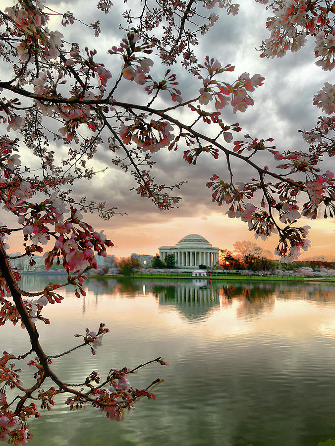 Cherry Blossoms Photograph - Dc Cherry Blossoms by David Posey