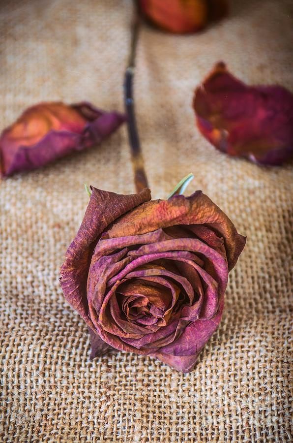 Melancholy Photograph - Dead Rose by Carlos Caetano