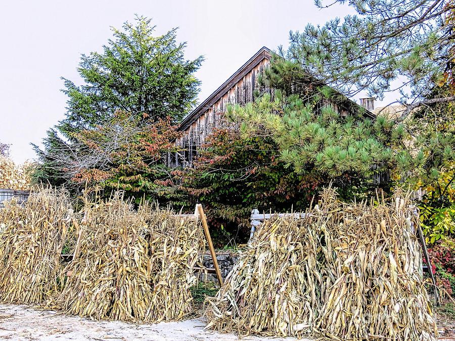 Decorative Corn Stalks Nh Photograph By Janice Drew