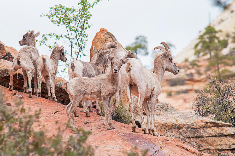 America Photograph - Desert Bighorn Family In Southern Utah by Rich Leighton