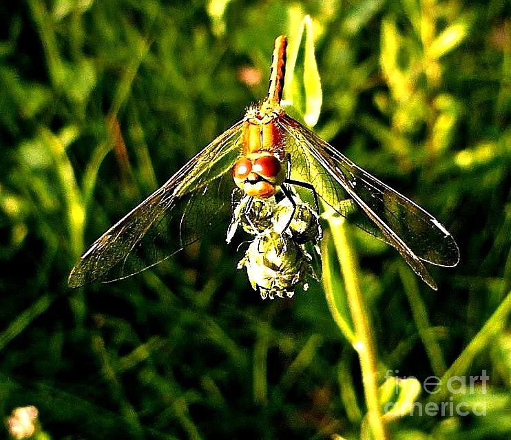 Sunlight Photograph - Dragon Fly by REA Gallery