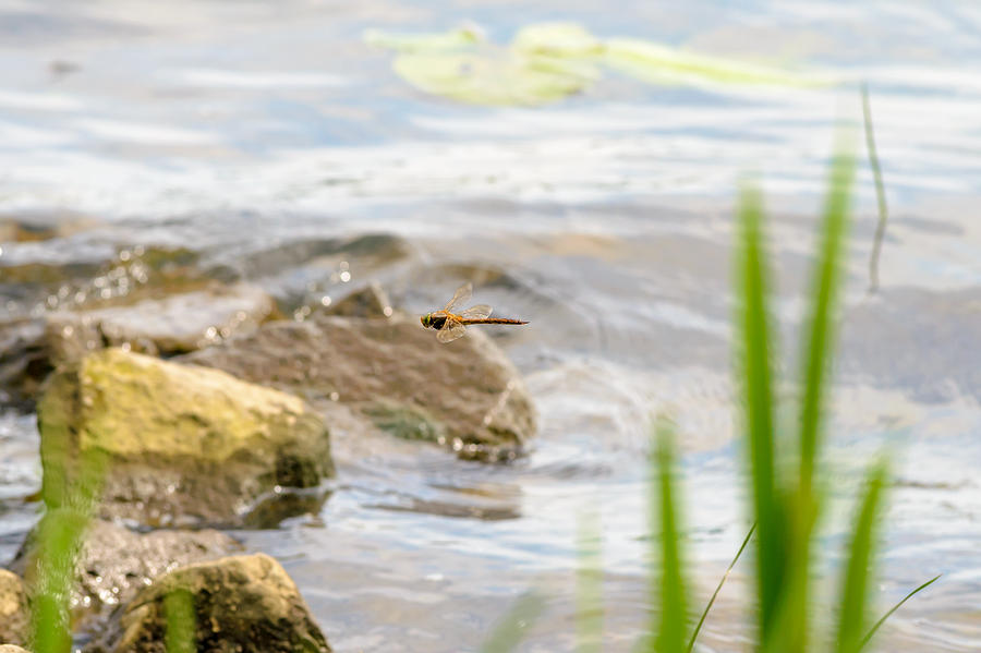 Dnieper Photograph - Dragonfly Flying by Alain De Maximy