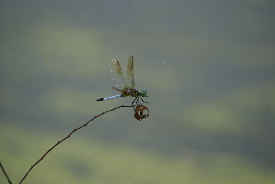 Water Photograph - Dragonfly by Heidi Poulin