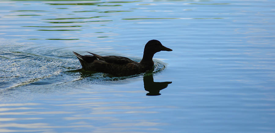 Duck Photograph - Duck by Brian Kinney