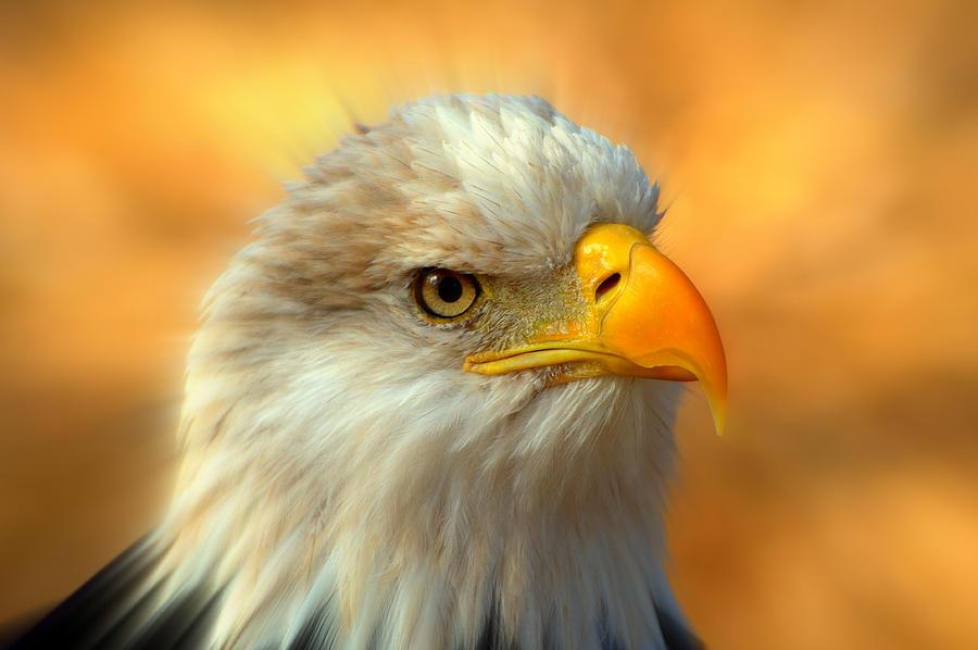 American Bald Eagle Photograph - Eagle 10 by Marty Koch