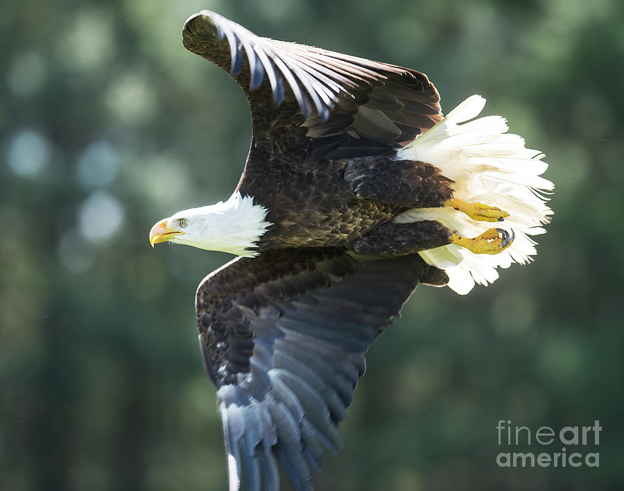 Eagle Flying 3005 by Steve Somerville