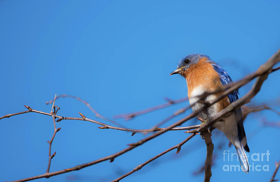 Eastern Bluebird Photograph by Heather Hubbard