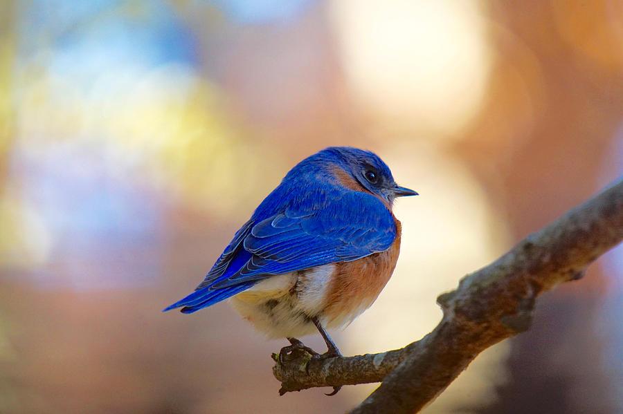 Bluebird Photograph - Eastern Bluebird by Robert L Jackson