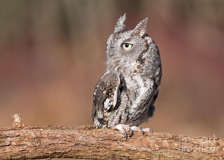 1dx Photograph - Eastern Screech Owl by Joshua Clark